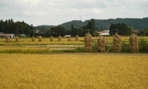 Kihara Rice Paddy